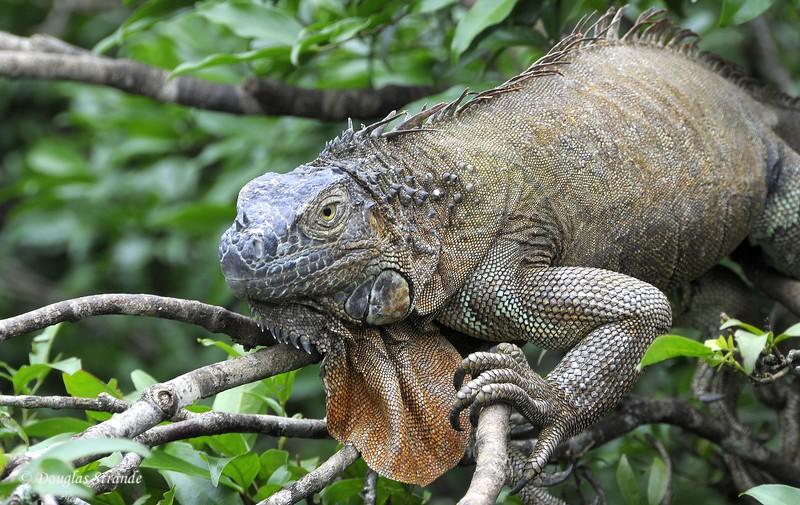 AlongTheWay: iguana