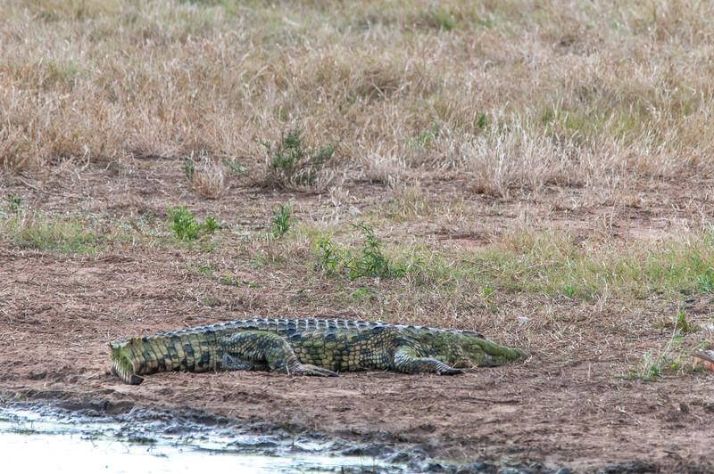 Crocodile in Kruger National Park
