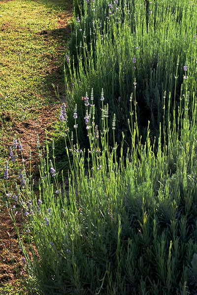 CHLF AUG 2007 Lavender Shadows.jpg