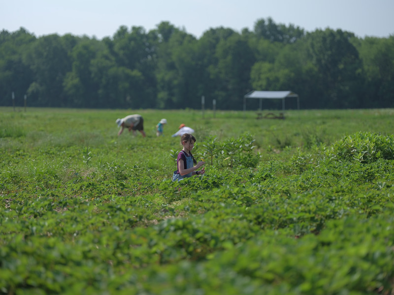 June 17, 2018 - Strawberry Picking for Fathers Day-205.jpg