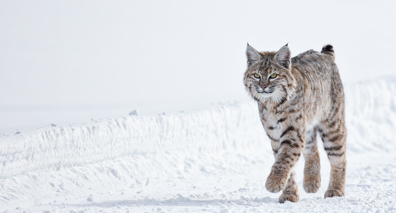 bobcat walking on packed snow.jpg