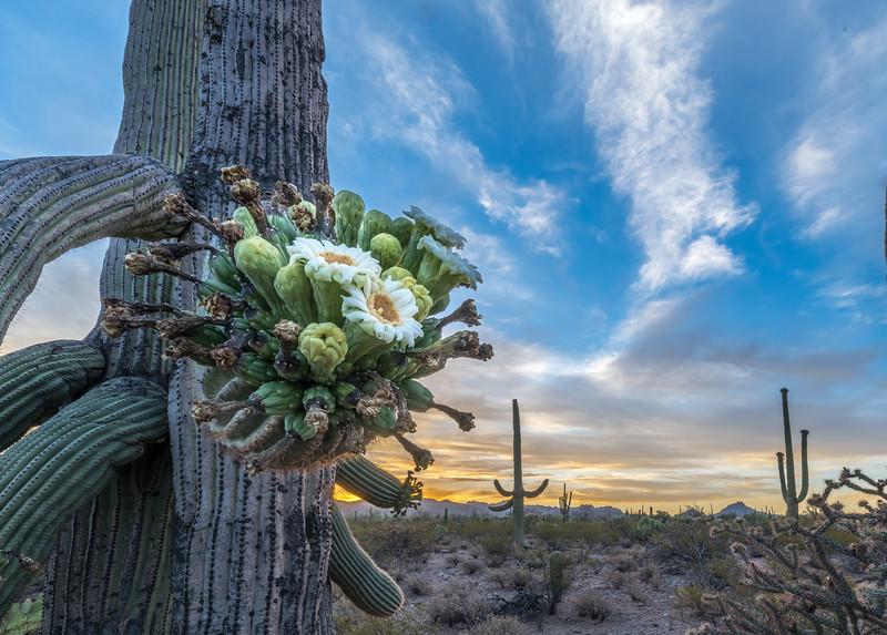 I-11 - Flowering Old Saguaro at Dawn #5