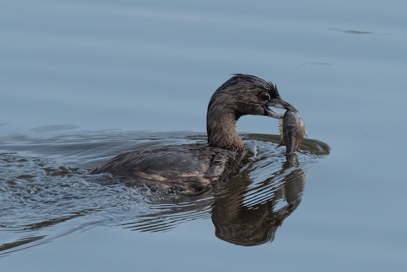 Pied-billed Grebe with a fish.