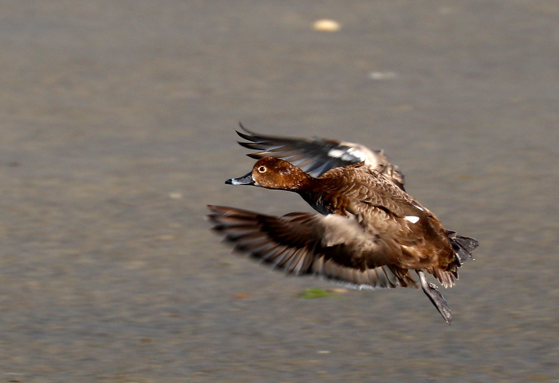 Duck IMG_4413.jpg