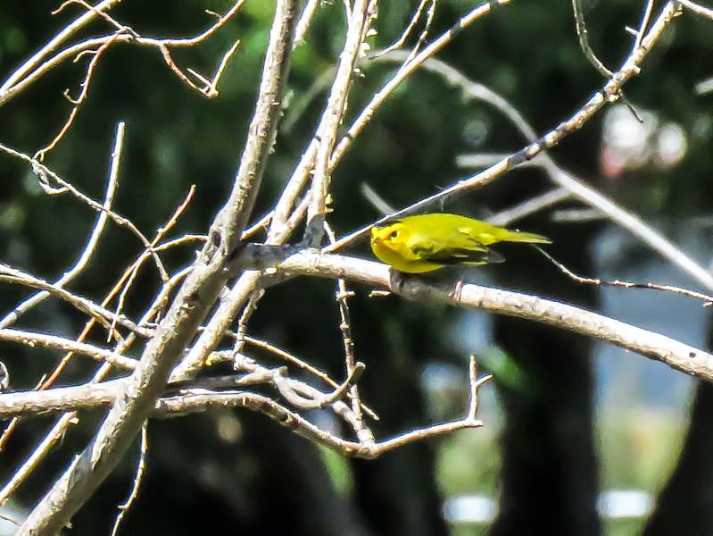 IMG_8668 3 crp Wilson's Warbler Fred Baca.jpg