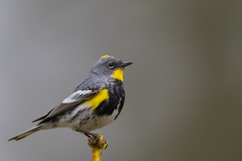 Yellow-rumped Warbler - Sequoia National Park, CA, USA