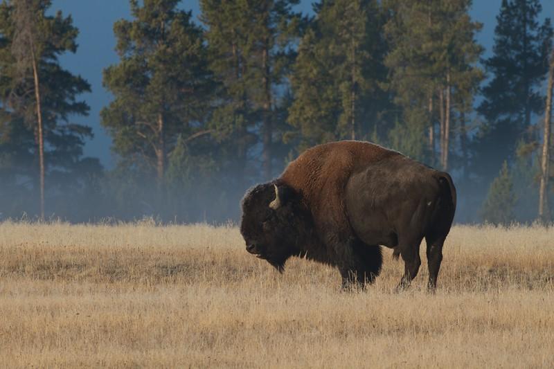 Bison Yellowstone N.P. WY IMG_0068158.jpg
