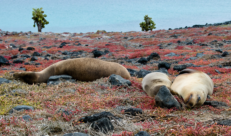 Sea lions snoozing on a sesuvium field, South Plaza Island