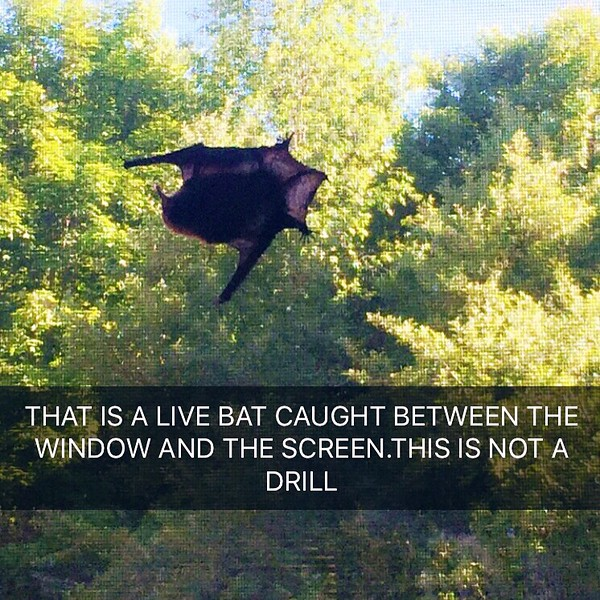 bat on window screen