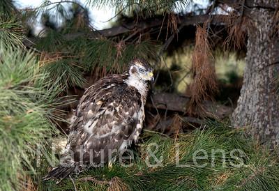 Hawks, Northern Goshawks