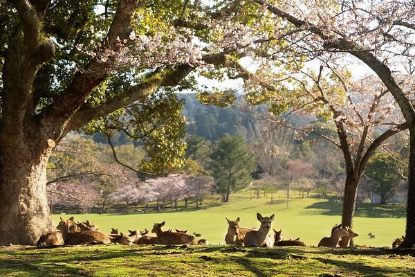 Nara Koen - Ume & Sakura season