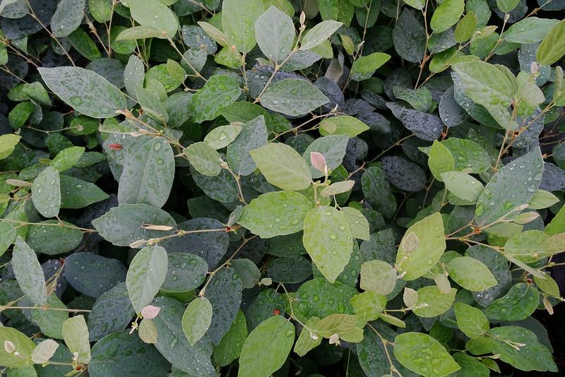 Fothergilla gardenii 'Blue Mist'