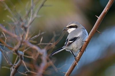 Fuerteventura Fåglar 2018