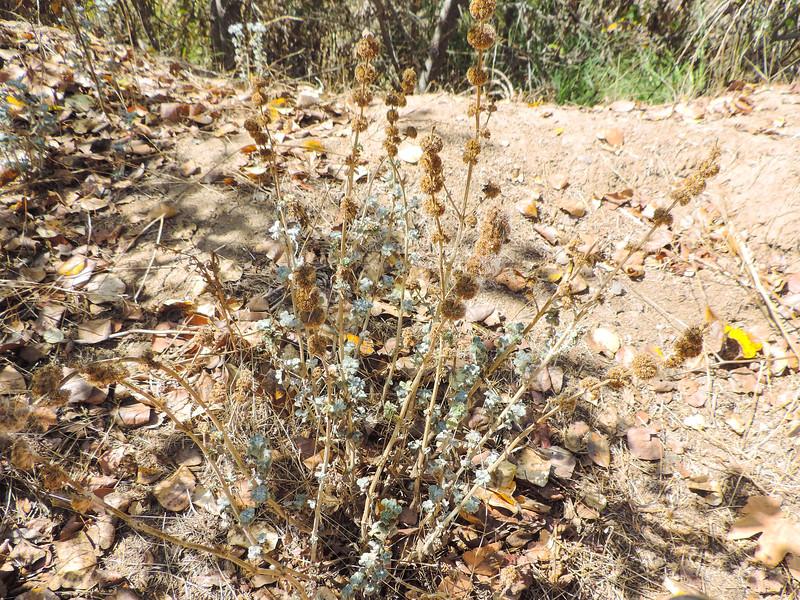 Horehound  (Marrubium vulgare) LAMIACEAE