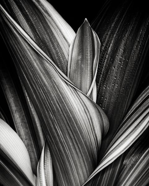 cordyline-leaves.jpg