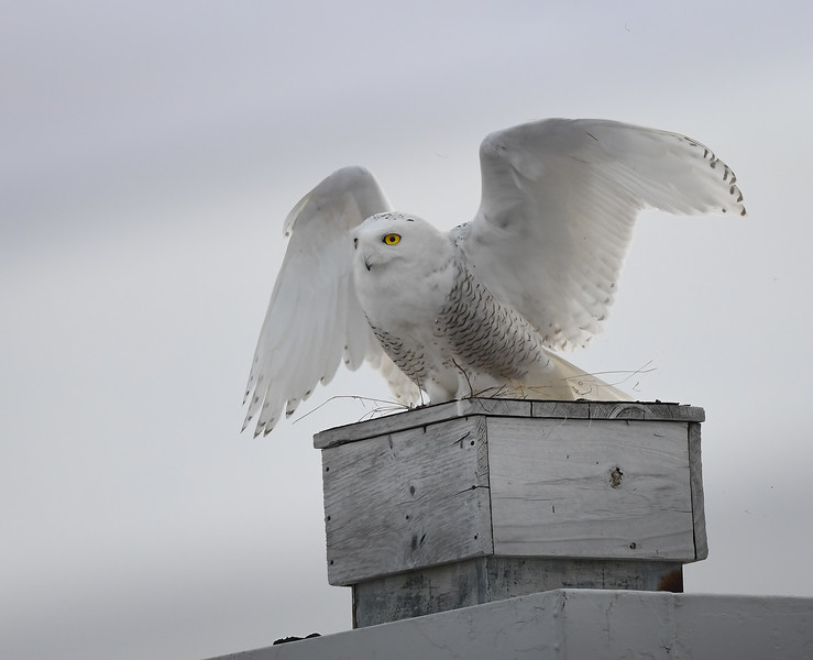 Snowy Owl Dive Bomber