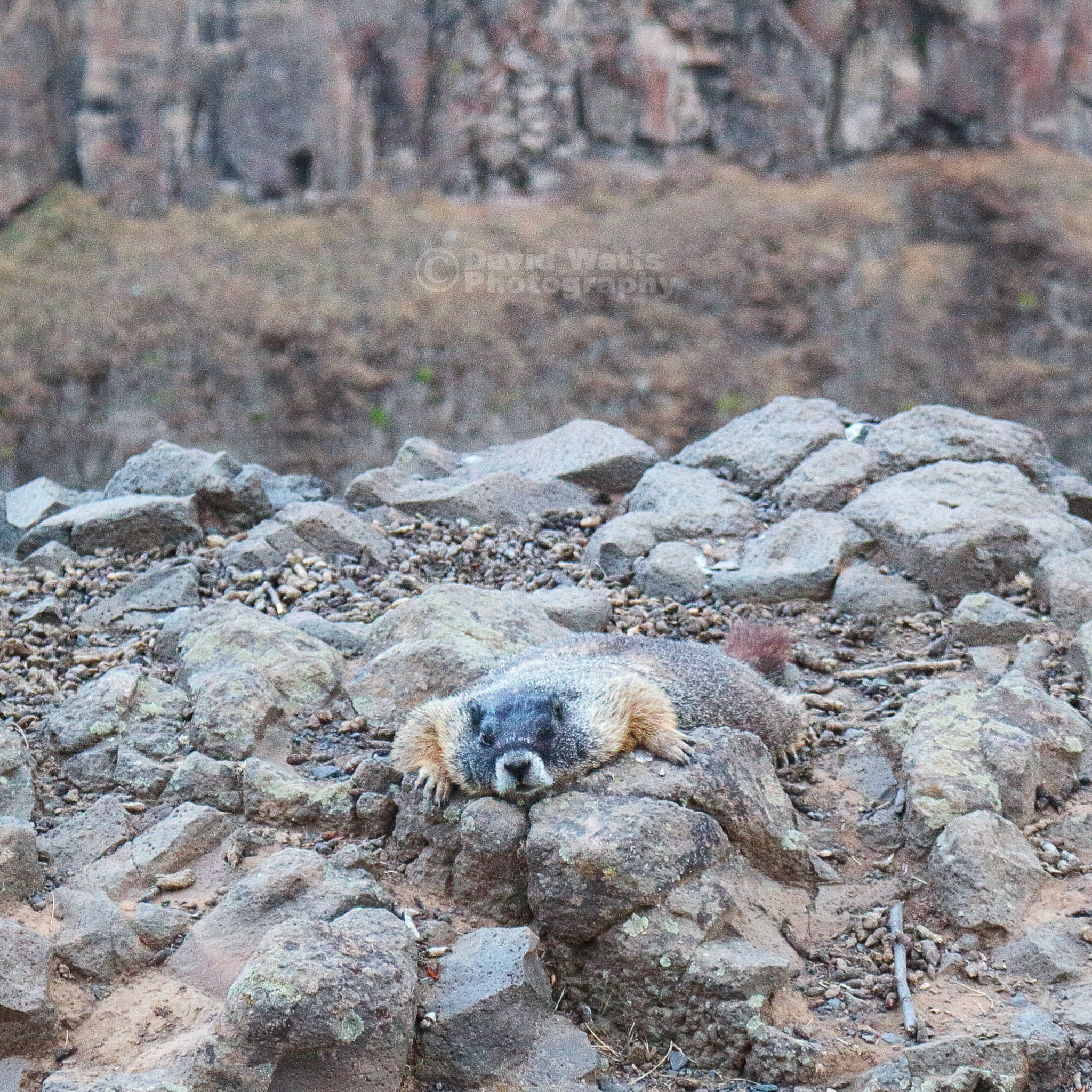 Marmot at Palouse Falls