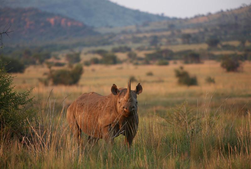 Black Rhino - 4691.jpg