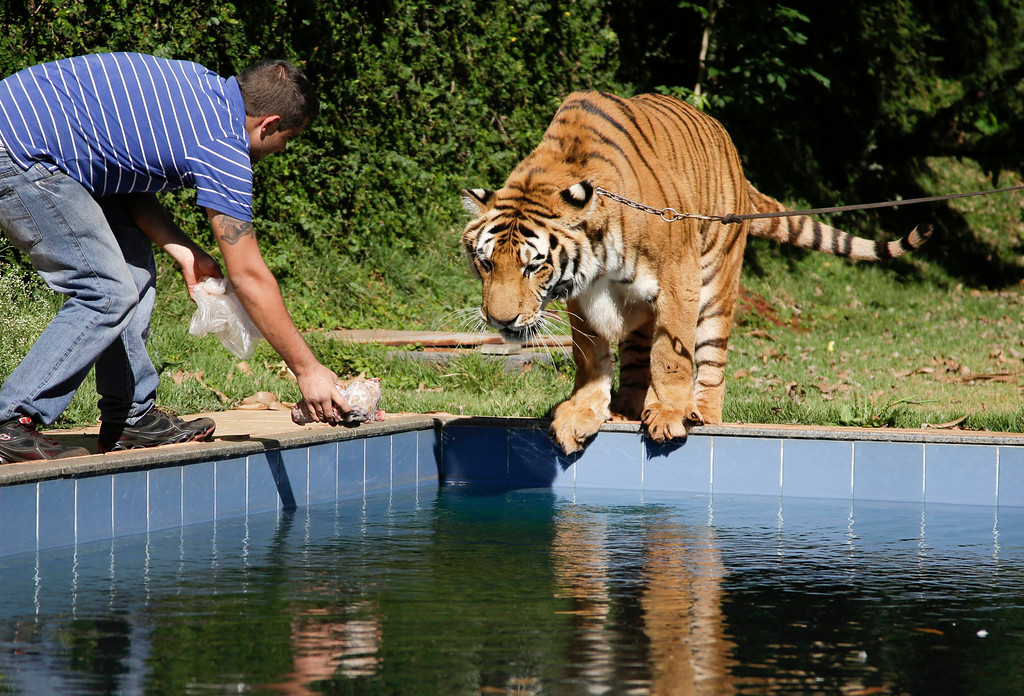 . A tiger handler holds out a piece of meat for a tiger named Tom over a swimming pool in the backyard Tom\'s caretaker Ary Borges in Maringa, Brazil, Thursday, Sept. 26, 2013. To date, they\'ve had no problems with Borges\' animals attacking anyone or getting loose. (AP Photo/Renata Brito)