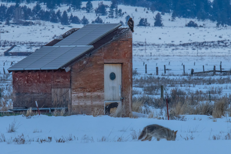 Sierra Valley Old Storage Shed, Coyote & Red-Tailed Hawk