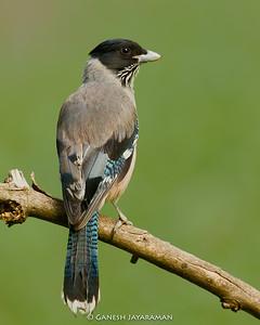 Black-headed Jay (Garrulus lanceolatus)