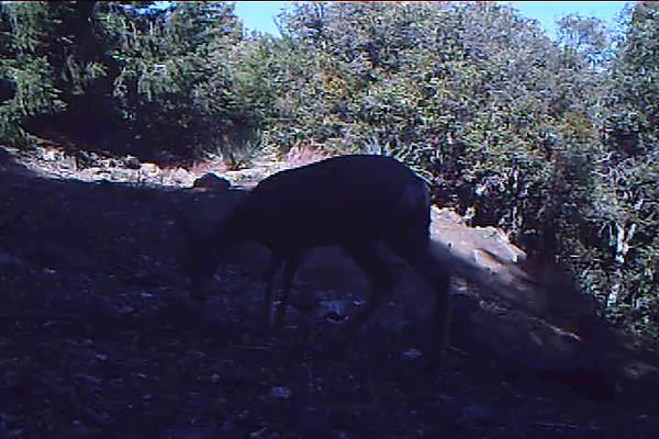 Mule Deer Dow 115 PM.AVI