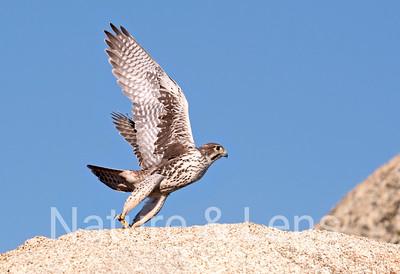 Falcons, Prairie Falcons