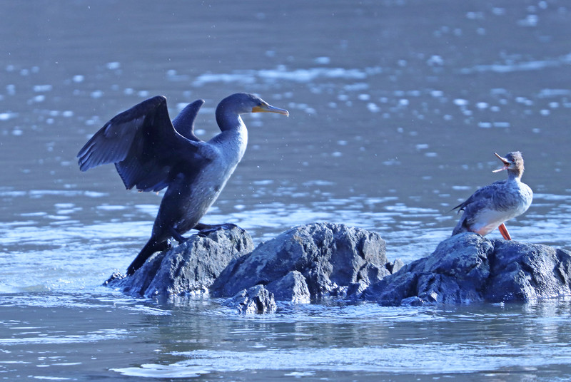 cormorant and merganser.jpg