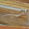 2017_ tent gecko_Canopy Camp_Darien_Panama_Dec_IMG_0077