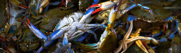 blue claw crab 3