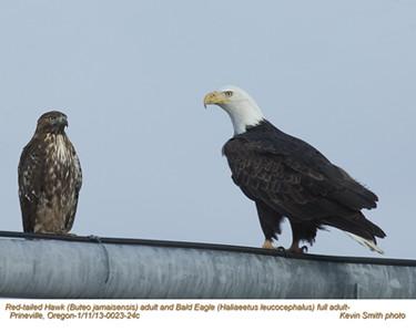 Red-tailedHawk&BaldEagleA0023-24c.jpg