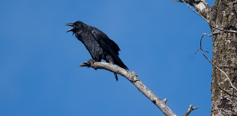 Common Raven South Brule Road Superior National Forest Cook Co MN IMG_7483.jpg