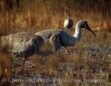Okefenokee Sandhill Cranes