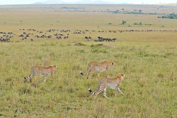 cheetahs, grasslands, masai mara, bagh safari