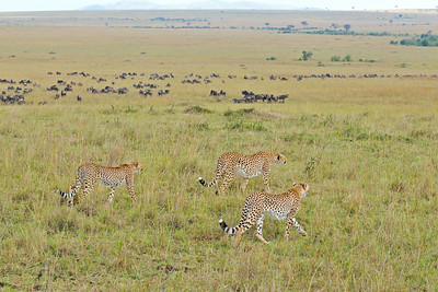 """Cheetah family in grasslands of Masai Mara"""