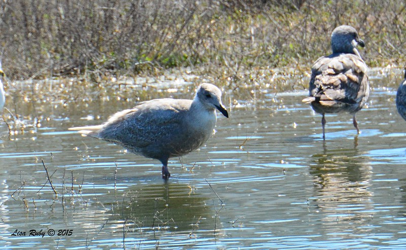 First winter Glaucous-winged Gull - 3/6/2015 - Oceanside Harbor, river mouth