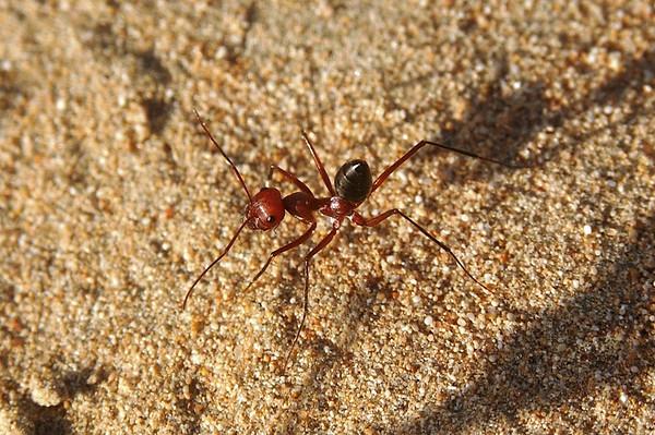 Desert Runner Ant