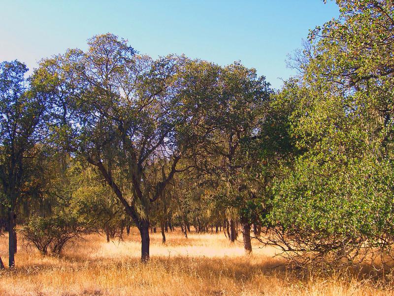 California spanish moss