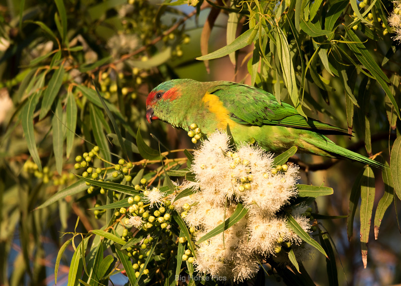 Cronulla parrots 2.jpg