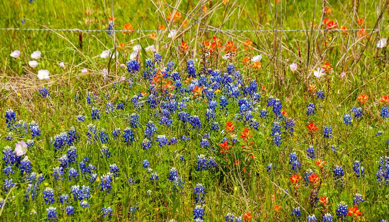 2016_4_9 Texas Wildflower Shoot-8458.jpg