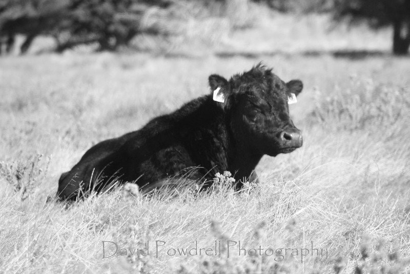 Cow in blank and white.jpg