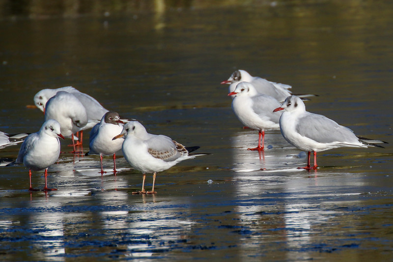 Black Headed Gulls