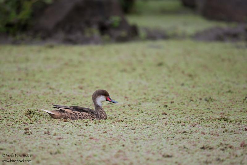 White-cheeked Pintail  - Galapagos, Ecuador
