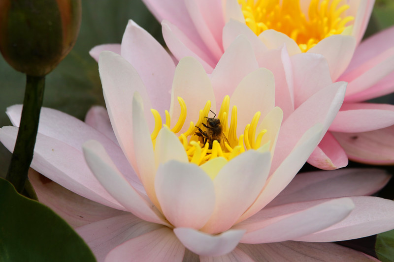 lilly pad with bee.jpg