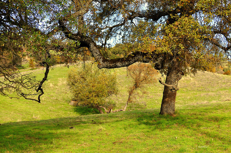 foothill oak 11-25-2012.jpg