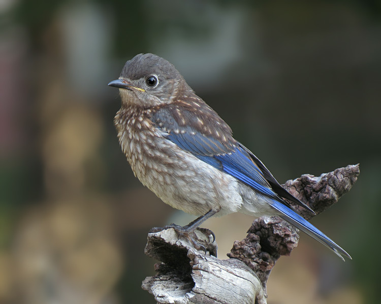 sx50_bluebird_fledgling_boas_106.jpg