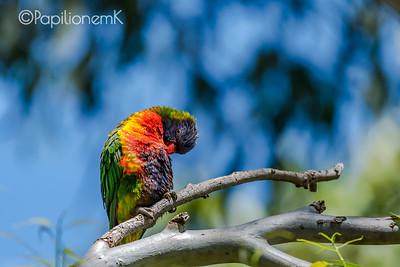 Rainbow Lorikeet [Trichoglossus moluccanus]