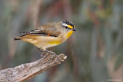 Pardalotes and Mistletoebird