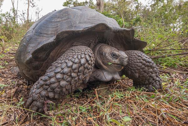 Tortoises (Testudinidae)
