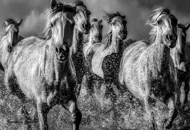 Fury_White Horses of the Camargue_ Provence,France.jpg
